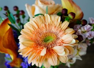 How to Care for Gerbera Daisies